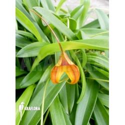 Masdevallia kimballiana (caudata x veitchiana)