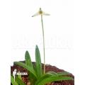 Orchidée 'Masdevallia minuta'
