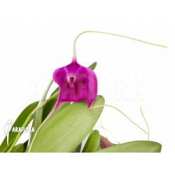 Masdevallia new super purple