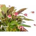 Orchidée 'Masdevallia nifidica 'dark''