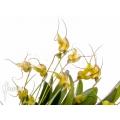 Orchidée 'Masdevallia nifidica 'yellow''
