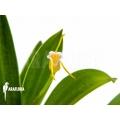 Orchidée 'Masdevallia paivaeana'