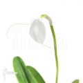 Orchidée 'Masdevallia tovarensis'
