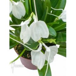 Masdevallia tovarensis 'XL'