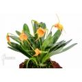 Orchidée 'Masdevallia x orange lined'