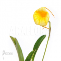 Masdevallia x Liana 'yellow'