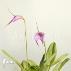 Masdevallia x 'Selphi Orion pink'