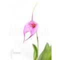 Orchidée 'Masdevallia x Selphi Orion (pink)'