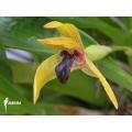 Orchidée 'Maxillaria cucullata'