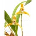 Orchidée 'Maxillaria punctata'