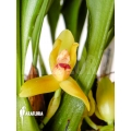 Orchidée 'Maxillaria rufescens 'yellow flower''