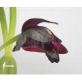 Orchidée 'Maxillaria schunkeana'
