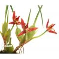 Orchidée 'Maxillaria tenuifolia'