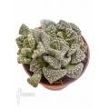 Mesembryanthemum (Titanopsis) hugo-schlechteri