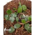 Microgramma vacciniifolia 'Starter'
