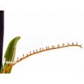 Orchidée 'Microterangis hildebrandtii'