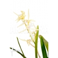 Orchidée 'Miltonia flavescens'