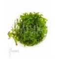 Mousse tropicale 'Pellia' 'Monosolenium tenerum 'Starter'