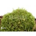 Mousse Monosolenium tenerum