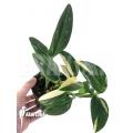 Monstera standleyana (Philodendron Cobra)