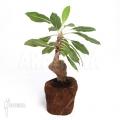 Plante myrmécophyte 'Myrmecodia tuberosa' 'XL'