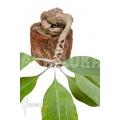 Plante myrmécophyte 'Myrmecodia tuberosa' 'L'