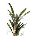 Bromélia 'Neoregelia ampullacea 'Purple' 'Starter''