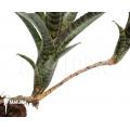 Bromélia 'Neoregelia ampullacea' 'Black Tiger'