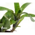 Bromélia 'Neoregelia ampullacea' 'Green Tiger' (S)