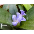 Bromélia 'Neoregelia lilliputiana'