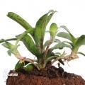 Bromélia 'Neoregelia lilliputiana' 'L'