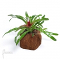 Bromélia 'Neoregelia schultesiana' 'Fireball' (M)