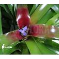 Bromélia 'Neoregelia schultesiana' 'Fireball' (XL)