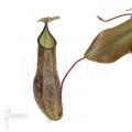 Coupe du singe 'Nepenthes adnata' 'L'