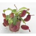 Coupe du singe 'Nepenthes ampullaria' 'Red' 'L'