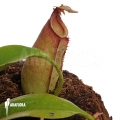 Coupe du singe 'Nepenthes bicalcarata'