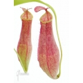 Coupe du singe 'Nepenthes gracilis'