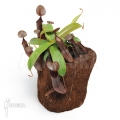 Coupe du singe 'Nepenthes sanguinea' 'L'