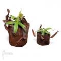 Coupe du singe 'Nepenthes sanguinea' 'XLlvm'