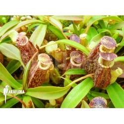 Nepenthes talangensis Starter