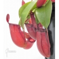 Coupe du singe 'Nepenthes' x 'Bloody mary' 'XL'
