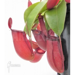 Nepenthes x 'Bloody Mary' 'XL'
