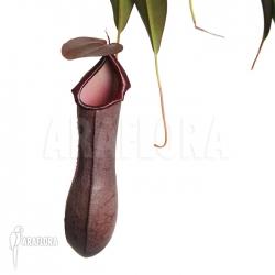 Nepenthes x 'Rebecca Soper'