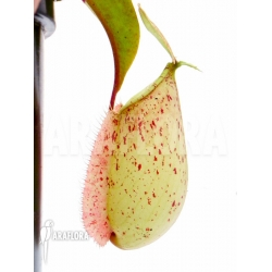 Nepenthes x hookeriana 'red'
