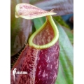 Coupe du singe 'Nepenthes x suki'