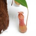 Coupe du singe 'Nepenthes x ventrata' 'L'