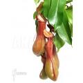 Coupe du singe 'Nepenthes x ventrata' 'XL'