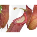 Coupe du singe 'Nepenthes' x 'Linda'