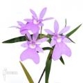 Orchidée 'Oerstedella centradenia'
