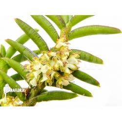 Omoea philippinensis